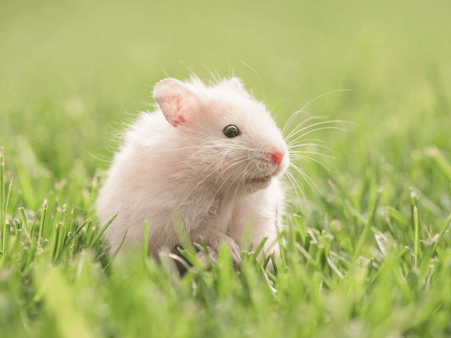 Škrečok v tráve